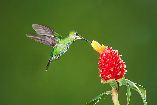 BRD 28 JZ0004 01 © Kimball Stock Purple Throated Mountain Gem Hummingbird Drinking Nectar From Flower Costa Rica