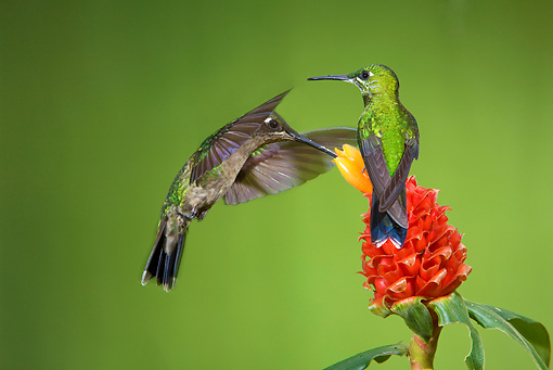 BRD 28 JZ0007 01 © Kimball Stock Two Purple Throated Mountain Gem Hummingbirds Drinking Nectar From Flower Costa Rica