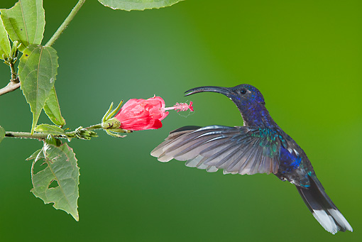 BRD 28 JZ0008 01 © Kimball Stock Violet Sabrewing Hummingbird Drinking Nectar From Flower Costa Rica
