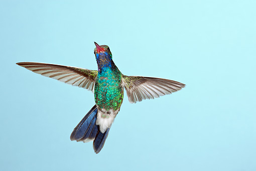 BRD 28 MC0004 01 © Kimball Stock Broad-Billed Hummingbird Male Hovering Arizona