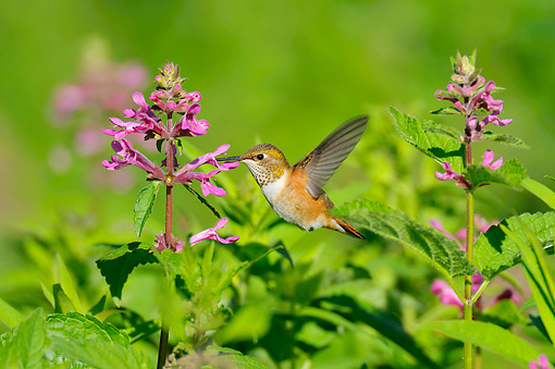 BRD 28 TL0003 01 © Kimball Stock Rufous Hummingbird Feeding From Pink Flower