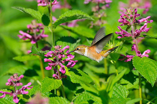 BRD 28 TL0004 01 © Kimball Stock Rufous Hummingbird Feeding From Pink Flower