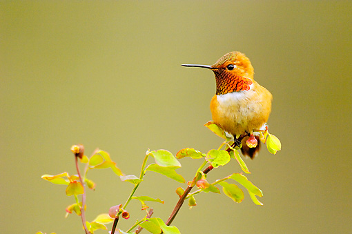 BRD 28 TL0002 01 © Kimball Stock Male Rufous Hummingbird Perching On Bush