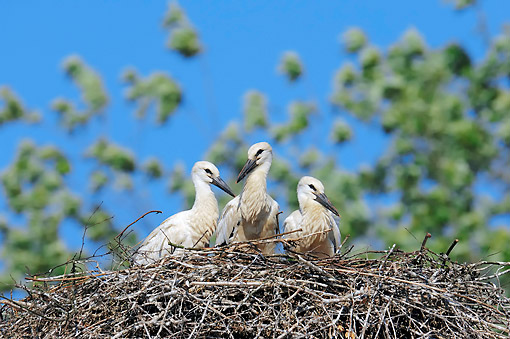 BRD 29 AC0013 01 © Kimball Stock White Stork Chicks Sitting In Nest