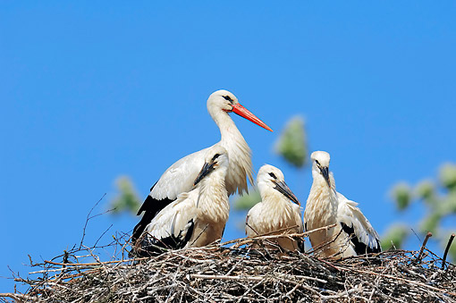 BRD 29 AC0014 01 © Kimball Stock White Stork Adult With Chicks Sitting In Nest