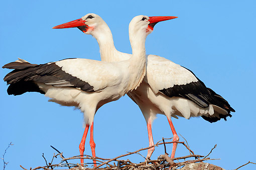 BRD 29 AC0016 01 © Kimball Stock White Storks Standing In Nest In North Rhine-Westphalia, Germany