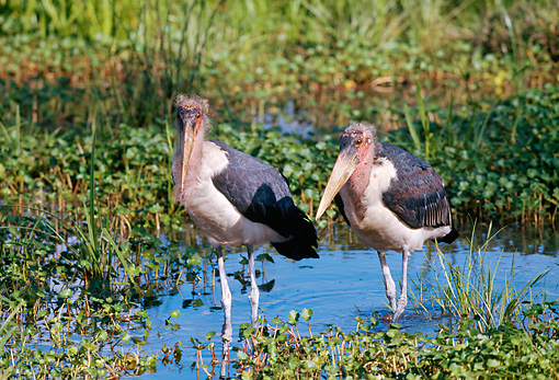 BRD 29 GL0001 01 © Kimball Stock Two Marabou Storks Standing In Shallow Water
