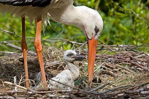 BRD 29 GL0003 01 © Kimball Stock Close-Up Of White Stork With Chicks On Nest France