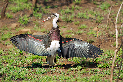BRD 29 HP0001 01 © Kimball Stock Woolly-Necked Stork Standing On Ground With Wings Spread