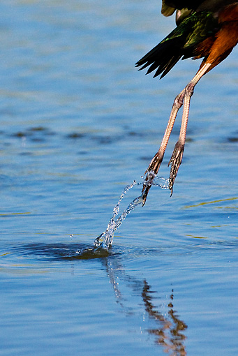 BRD 29 KH0004 01 © Kimball Stock Close-Up Of Legs Of Glossy Ibis Taking Off From Water Greece