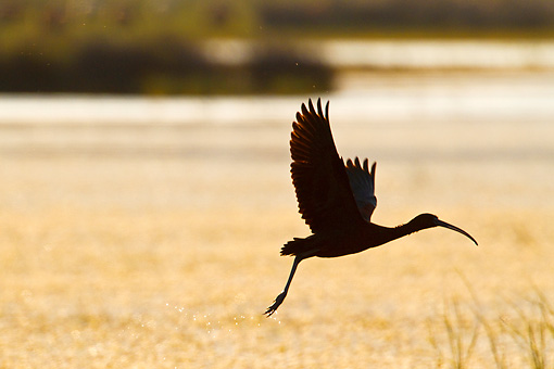BRD 29 KH0005 01 © Kimball Stock Silhouette Of Glossy Ibis Taking Off From Water Greece