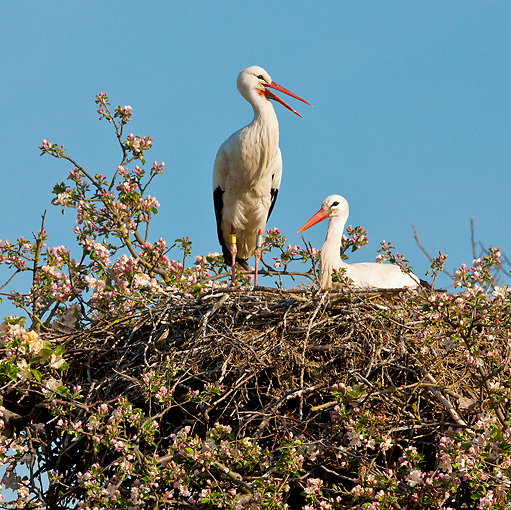 BRD 29 KH0007 01 © Kimball Stock Two White Storks In Nest On Top Of Apple Blossom Tree Alsace, France