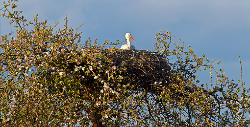 BRD 29 KH0008 01 © Kimball Stock White Stork Brooding In Nest On Top Of Apple Blossom Tree Alsace, France
