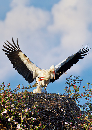 BRD 29 KH0010 01 © Kimball Stock White Stork Bringing Supplies To Nest On Top Of Apple Blossom Tree Alsace, France