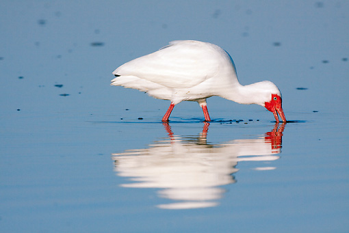 BRD 29 LS0007 01 © Kimball Stock White Ibis Looking For Crabs In Low Tide