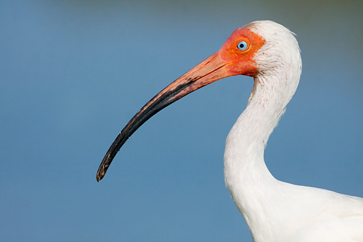 BRD 29 LS0008 01 © Kimball Stock Head Shot Of White Ibis Hunting On Tidal Flat