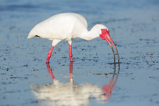 BRD 29 LS0010 01 © Kimball Stock White Ibis With Fiddler Crab At Low Tide In Pinellas County, Florida