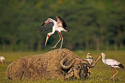 BRD 29 MH0001 01 © Kimball Stock Yellow-Billed Stork Standing On Sleeping Buffalo