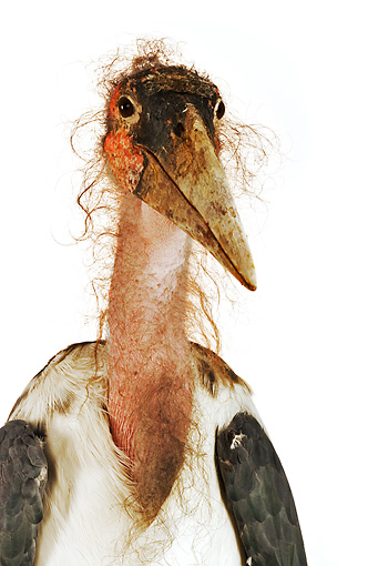 BRD 29 MH0007 01 © Kimball Stock Close Up Of Marabou Stork In Studio