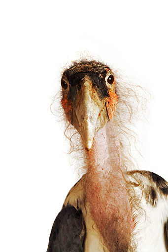 BRD 29 MH0008 01 © Kimball Stock Close Up Of Marabou Stork In Studio