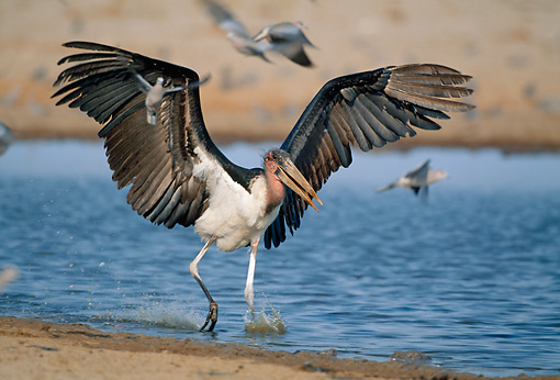 BRD 29 MH0013 01 © Kimball Stock Marabou Stork Taking Off From Water Namibia