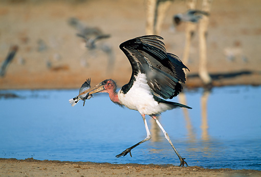 BRD 29 MH0014 01 © Kimball Stock Marabou Stork Catching Small Bird By Water Namibia