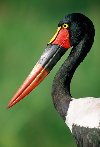 BRD 29 MH0015 01 © Kimball Stock Portrait Of Saddle-Billed Stork Sub-Saharan Africa