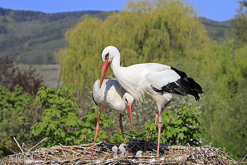 BRD 29 WF0002 01 © Kimball Stock European White Stork Parents With Chicks On Nest