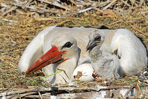 BRD 29 WF0003 01 © Kimball Stock European White Stork Mother With Chick And Egg On Nest