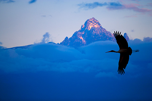 BRD 29 JZ0003 01 © Kimball Stock Silhouette Of Marabou Stork Flying By Mt. Kenya Clouds Kenya