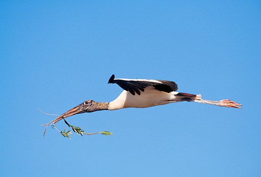 BRD 29 LS0004 01 © Kimball Stock Profile Of Wood Stork Flying Blue Sky Florida