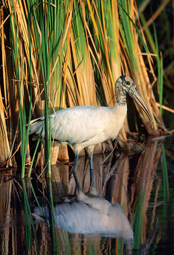 BRD 29 LS0005 01 © Kimball Stock Wood Stork Hunting In Marsh Grass Everglades National Park Florida