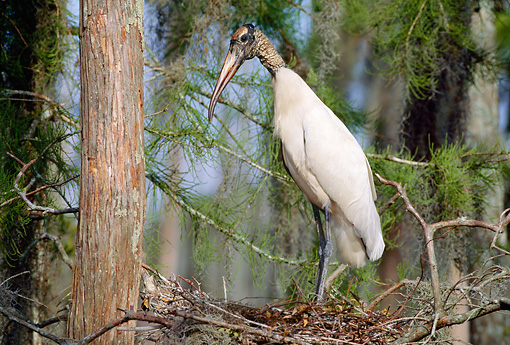 BRD 29 LS0006 01 © Kimball Stock Wood Stork Standing On Nest In Tree