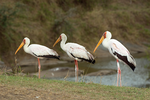 BRD 29 NE0001 01 © Kimball Stock Three Yellow-Billed Storks Standing On Savanna By Watering Hole Kenya