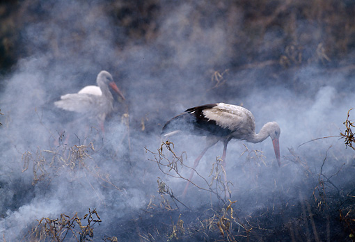 BRD 29 TL0001 01 © Kimball Stock White Storks Hunting Along Edge Of Fire