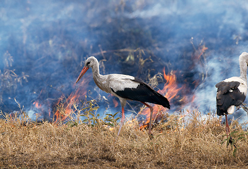 BRD 29 TL0002 01 © Kimball Stock White Storks Hunting Along Edge Of Fire