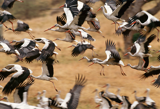 BRD 29 TL0003 01 © Kimball Stock Flock Of White Storks Flying Over Dry Grassland