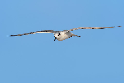 BRD 30 AC0009 01 © Kimball Stock Forster's Tern Flying By Sanibel Island, Florida, USA