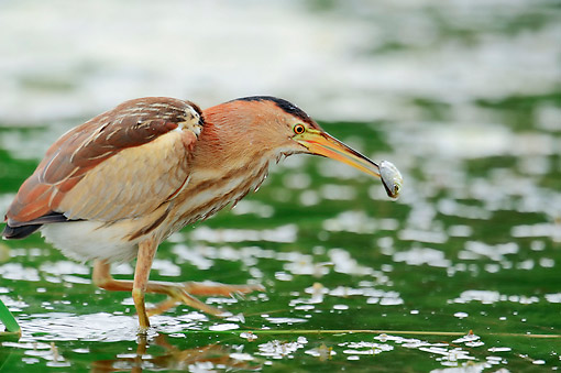 BRD 30 AC0011 01 © Kimball Stock Little Bittern Female Eating Fish In Greece