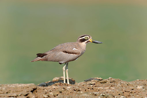 BRD 30 AC0012 01 © Kimball Stock Great Stone Curlew (Or Great Thick-Knee) Standing On Ground In Uttar Pradesh, India