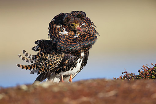 BRD 30 AC0022 01 © Kimball Stock Ruff Male Standing On Varanger Peninsula, Norway