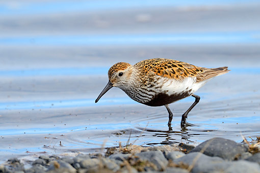 BRD 30 AC0024 01 © Kimball Stock Dunlin Feeding In North Iceland