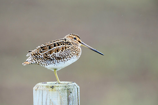 BRD 30 AC0025 01 © Kimball Stock Common Snipe Perching On Fence Post In Iceland