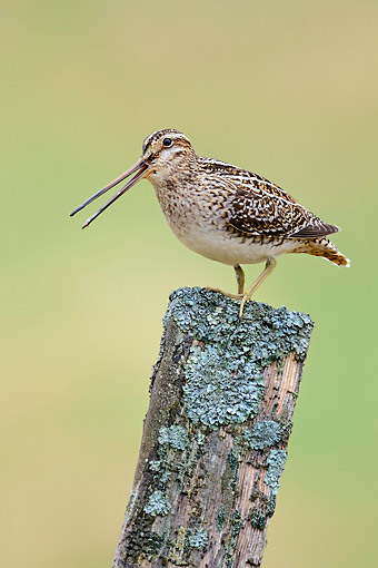 BRD 30 AC0026 01 © Kimball Stock Common Snipe Perching On Fence Post In Iceland