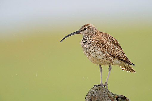 BRD 30 AC0027 01 © Kimball Stock Whimbrel Perching On Fence, Snaefellsnes Peninsula, Iceland