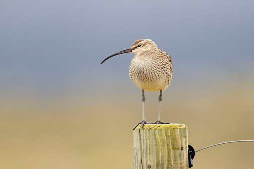 BRD 30 AC0028 01 © Kimball Stock Whimbrel Perching On Fence Post, Snaefellsnes Peninsula, Iceland
