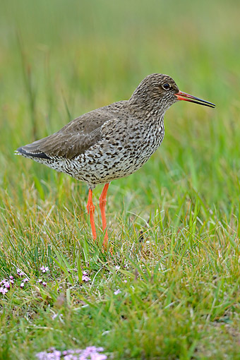 BRD 30 AC0029 01 © Kimball Stock Redshank Standing In Grass, Iceland