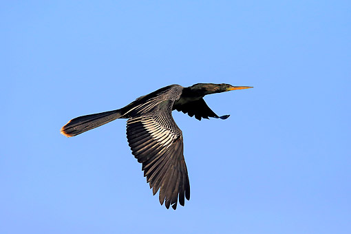 BRD 30 AC0031 01 © Kimball Stock Anhinga (Also Called Snakebird, Darter, Or Water Turkey) Flying Over Water, Wakodahatchee Wetlands, Delray Beach, Florida