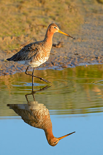BRD 30 AC0032 01 © Kimball Stock Black-Tailed Godwit Wading Into Water, The Island Of Textel, The Netherlands