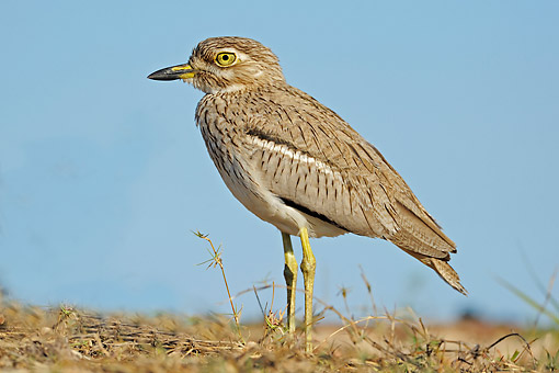 BRD 30 AC0034 01 © Kimball Stock Water Thick-Knee (Or Water Dikkop) Standing On Ground In Chobe National Park, Botswana
